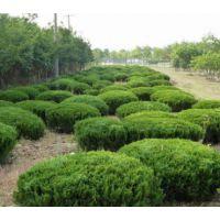 潍坊龙柏球种植基地大量供应龙柏球树苗