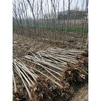 河南焦作的栾树质量好,价格优,是你理想的选择,武陟辉怡家庭农场欢迎您的到来