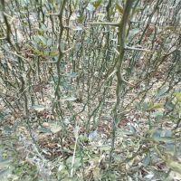0.5以上原圃枳壳苗供应 林源供应药用枳壳苗 枳壳种子多少钱一斤