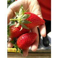 山东甜查理草莓苗批发价格