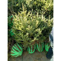 热卖甘肃云杉苗多--2米3米4米绿化云南昆明供苗