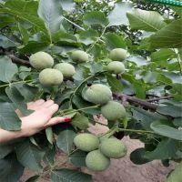 早实核桃树苗批发 1公分-3公分规格 薄皮核桃树苗品种