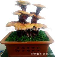 观赏蘑菇灵芝菌包菌种盆景赤灵芝 趣味种植活体灵芝室内绿植盆栽