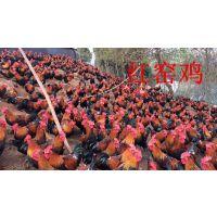 正宗林下散养土鸡农家粮食散养新鲜活鸡现杀走地鸡