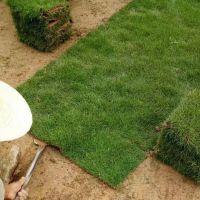 马尼拉草坪 广东珠海草坪砖绿地用的常用草批发价格 不二之选