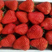 原产地直发丹东九九草莓 500g礼盒包装新鲜久久草莓批发