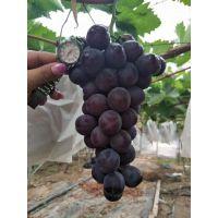 夏黑葡萄苗2018新价格 夏黑葡萄品种特性