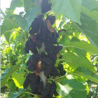 哪种四季果桑品种好