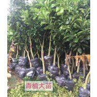 泰国青柚苗批发价格 泰国青柚苗种植基地在哪里