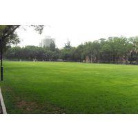 细叶结缕草***新价格,台湾二号培育技术,草坪种植基地,草坪密度