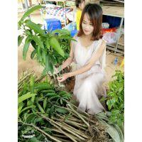 来宾凯特芒果苗批发 北流各类芒果树苗供应 种植南方