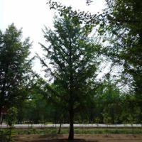 瑞森银杏 胸径10公分银杏树报价 胸径10公分银杏树