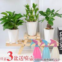 发财树富贵竹盆栽组合欧式实木花架室内客厅绿萝如意皇后水培植物