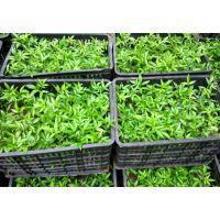 供应云南无刺藤椒苗,地径0.5cm嫁接无刺藤椒苗在什么季节种植好 林友农业