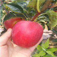 早熟鲁丽苹果苗种植技术 鲁丽苹果苗成熟时间