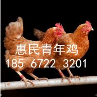 湖南湘潭60-110日龄青年鸡