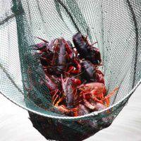 洪湖小龙虾养殖