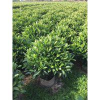 广西贵港非洲茉莉球原产地发货,箐黄果假植苗养护技巧