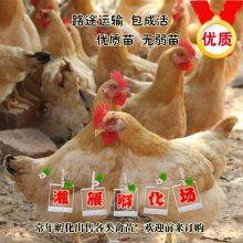 热售黄土鸡苗山地放养三黄鸡林下散养湘黄鸡苗做第一次疫苗包运输