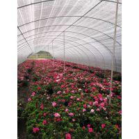 大量供应红色花朵的西洋鹃批发基地 成都种植出售