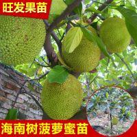 大量供应海南树菠萝蜜苗 嫁接菠萝蜜果树苗可盆栽地栽苗 品种纯正 量大价优