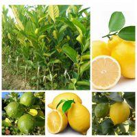 亿之博盆栽果树苗 柠檬树苗 当年开花结果 青柠檬树苗 黄柠檬树苗