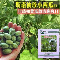 荷兰进口迷你小西瓜 拇指西瓜种子 庭院阳台种植水果蔬菜种子