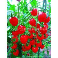 山东小柿子种子 河南番茄种子 辽宁西红柿种子 现代立新特丹红