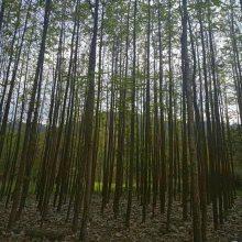 厚朴树苗木哪儿有? 陕西汉中厚朴树苗木种植基地 中药材经济林木 6CM厚朴树价格30元起