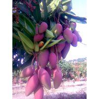 芒果果树光碳叶面肥 厂家价格 膨果增产无激素