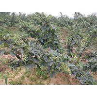 雅安种植藤椒苗是应该选择嫁接藤椒苗还是无刺藤椒苗呢?