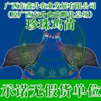 甘孜州得荣县-鸡苗养殖技术-福建鸡苗-上海鹅苗