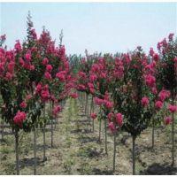 江苏紫薇基地 低价供应1公分2公分3公分紫薇小树苗