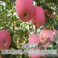 壹棵树 哪里有卖苹果树苗的 苹果树苗批发基地 成活率高