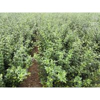 旺季促销枸橘小苗|产地直销 易成活|枸橘苗种植技术