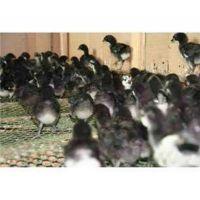 合肥绿壳蛋鸡苗批发-珍宝特种养殖厂质量好-五黑绿壳蛋鸡苗批发