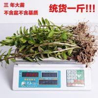 江楠枫 一斤装红杆铁皮石斛苗盆栽 3年驯化苗种苗枫斗 15-30株苗