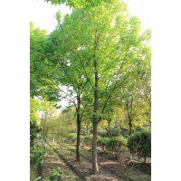山东2~14公分七叶树产地行情数据 2~14公分七叶树批发价格查询
