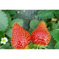 新品草莓苗批发1元 安徽润丰苗木