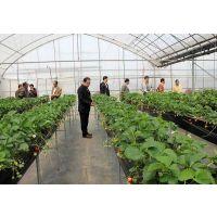 智能薄膜无土栽培草莓温室种植育苗技术/无土栽培草莓亩产量怎么样