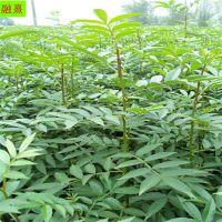 云南花椒苗种植基地 02 04 05 1公分规格 价格优惠 九叶青 大红袍花椒苗批发价格