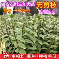 铁皮石斛苗盆栽绿植兰花驯化红杆种苗软脚鲜条枫斗花3年苗包邮