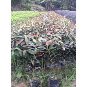 供应广州市***专业的绿化小袋苗小苗生产基地批发黄金熊猫香樟等小袋苗