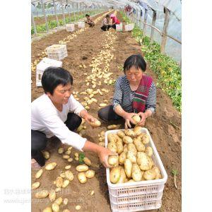 供应土豆种植合作社新鲜土豆销售价格行情咨询联系电话