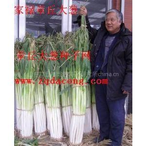 大葱种植技术 大葱 章丘大葱种 高产  抗重茬 新品种 大葱种子 葱籽 章丘大葱种子网 章丘大葱协会