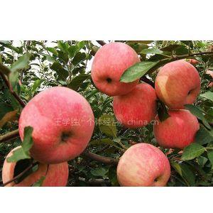 供应富士王苹果苗,美国八号苹果苗,嘎啦苹果苗,矮化苹果苗