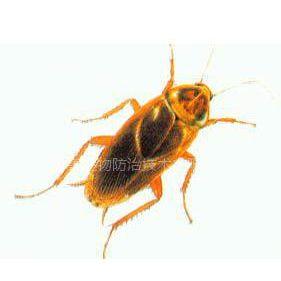 供应东莞防治蟑螂,蟑螂怎么根治,蟑螂消杀,蟑螂药