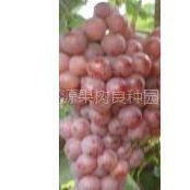 供应纯正美国红提葡萄苗价格低质量优