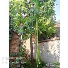 供应4米特长丝瓜种子