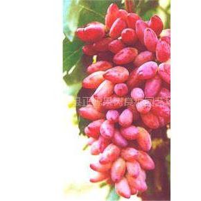 供应纯正红乳葡萄苗昌黎正源葡萄良种基地13933549660